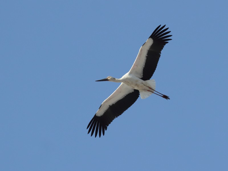 Oriental Stork - Chinmay Rahane