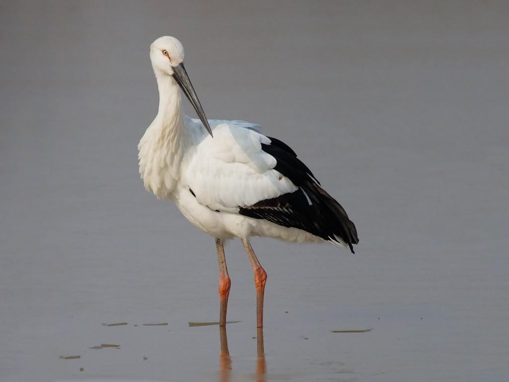 Oriental Stork - Don-Jean Léandri-Breton