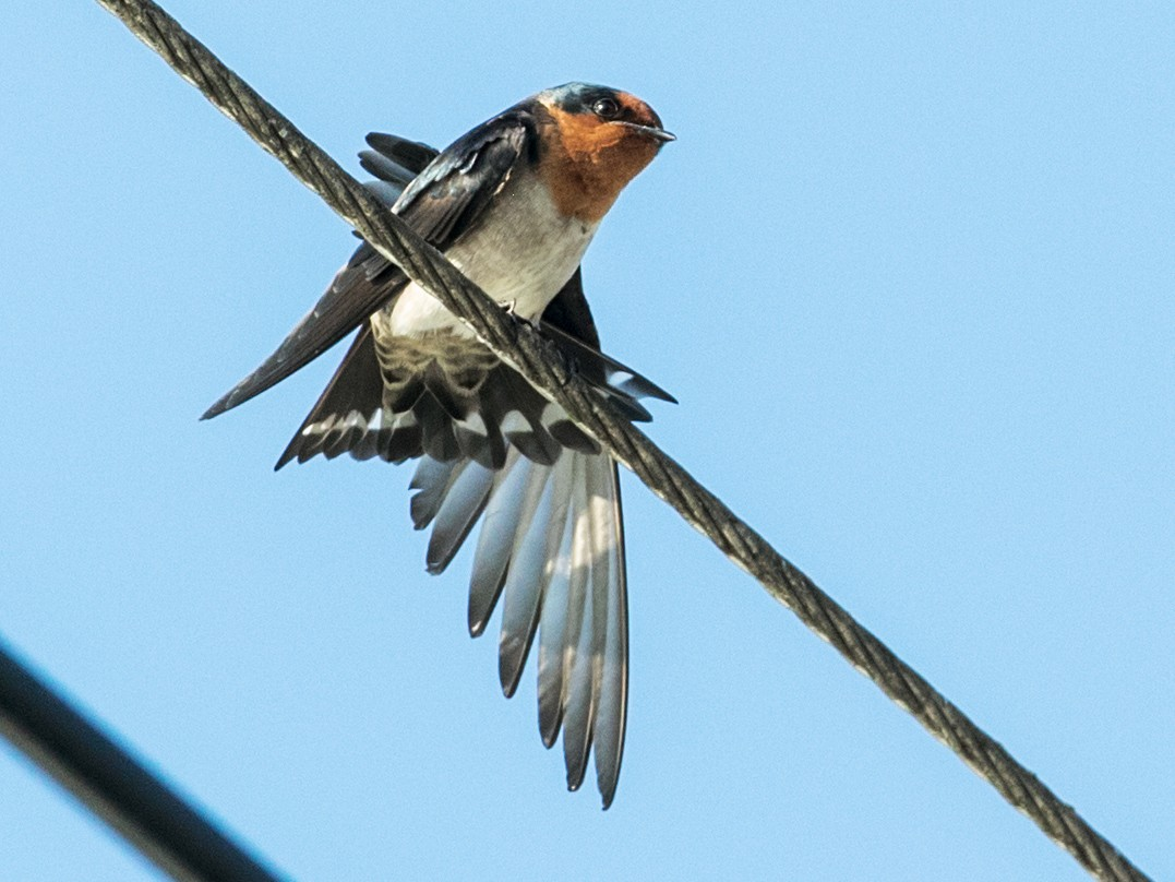 Pacific Swallow - Nick Athanas
