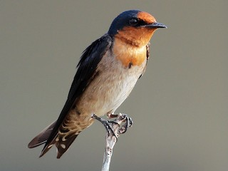 - Pacific Swallow