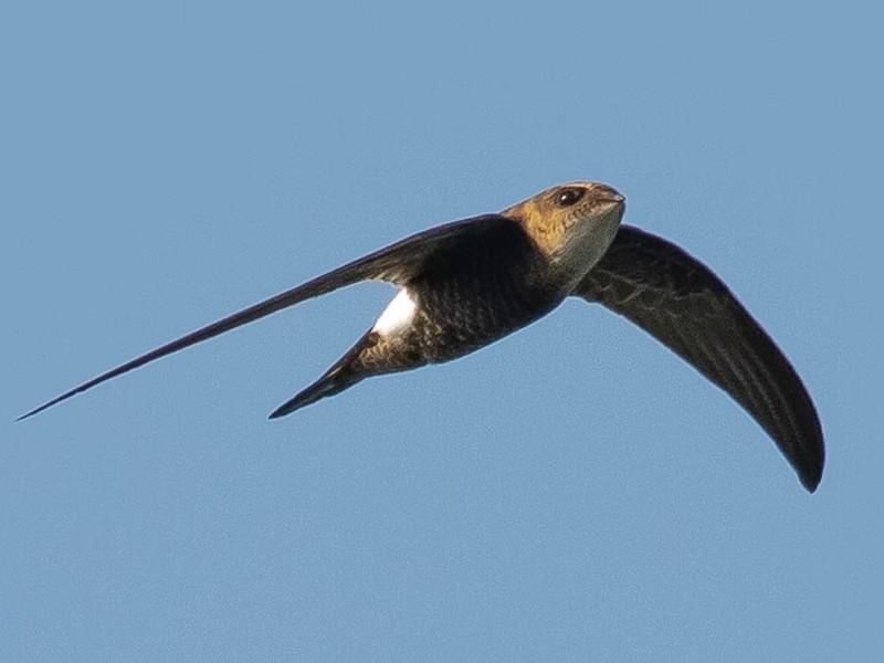 Pacific Swift - Paul Fenwick
