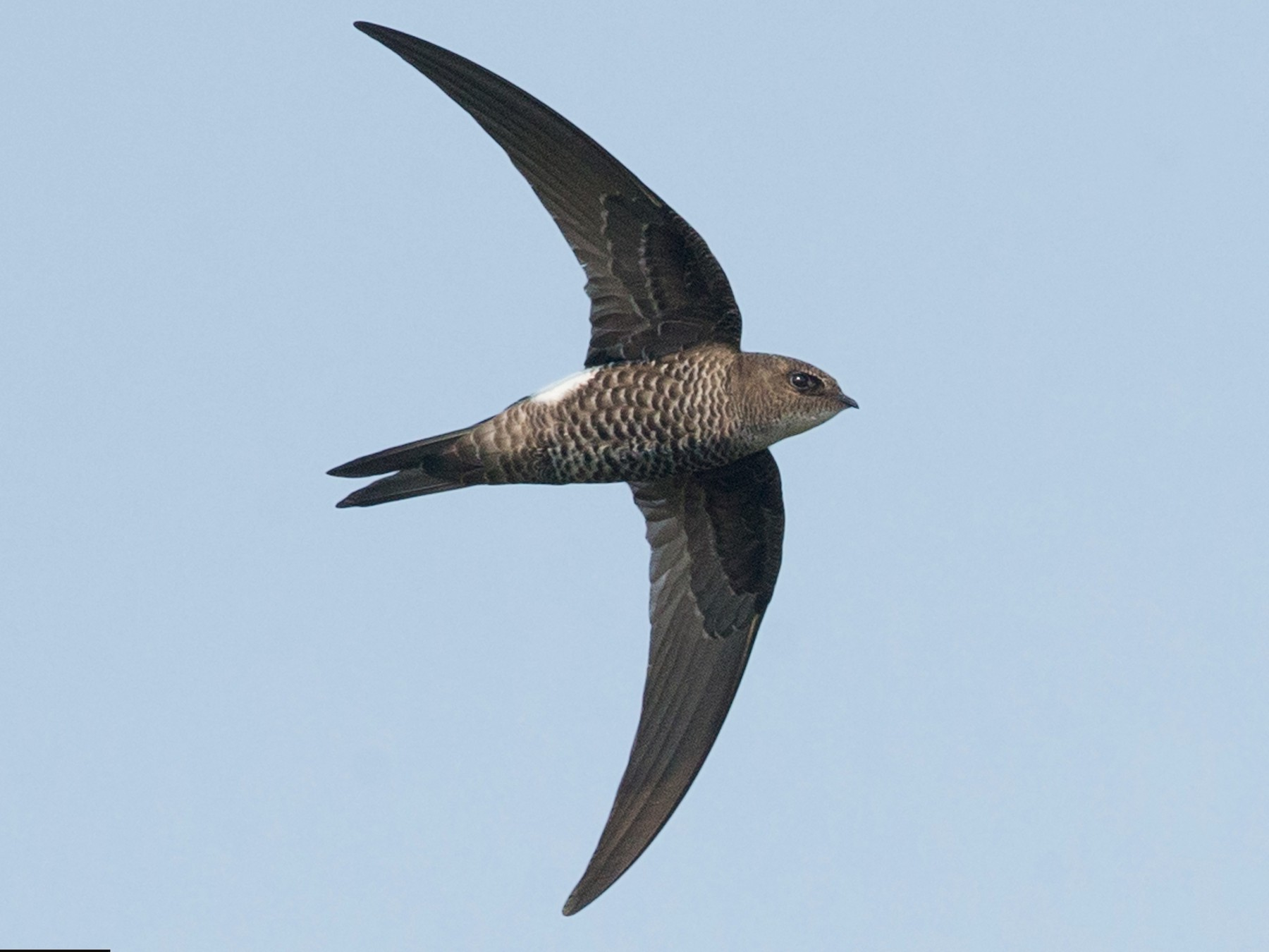 Pacific Swift - David Irving