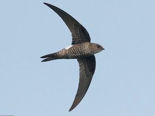 - Pacific Swift