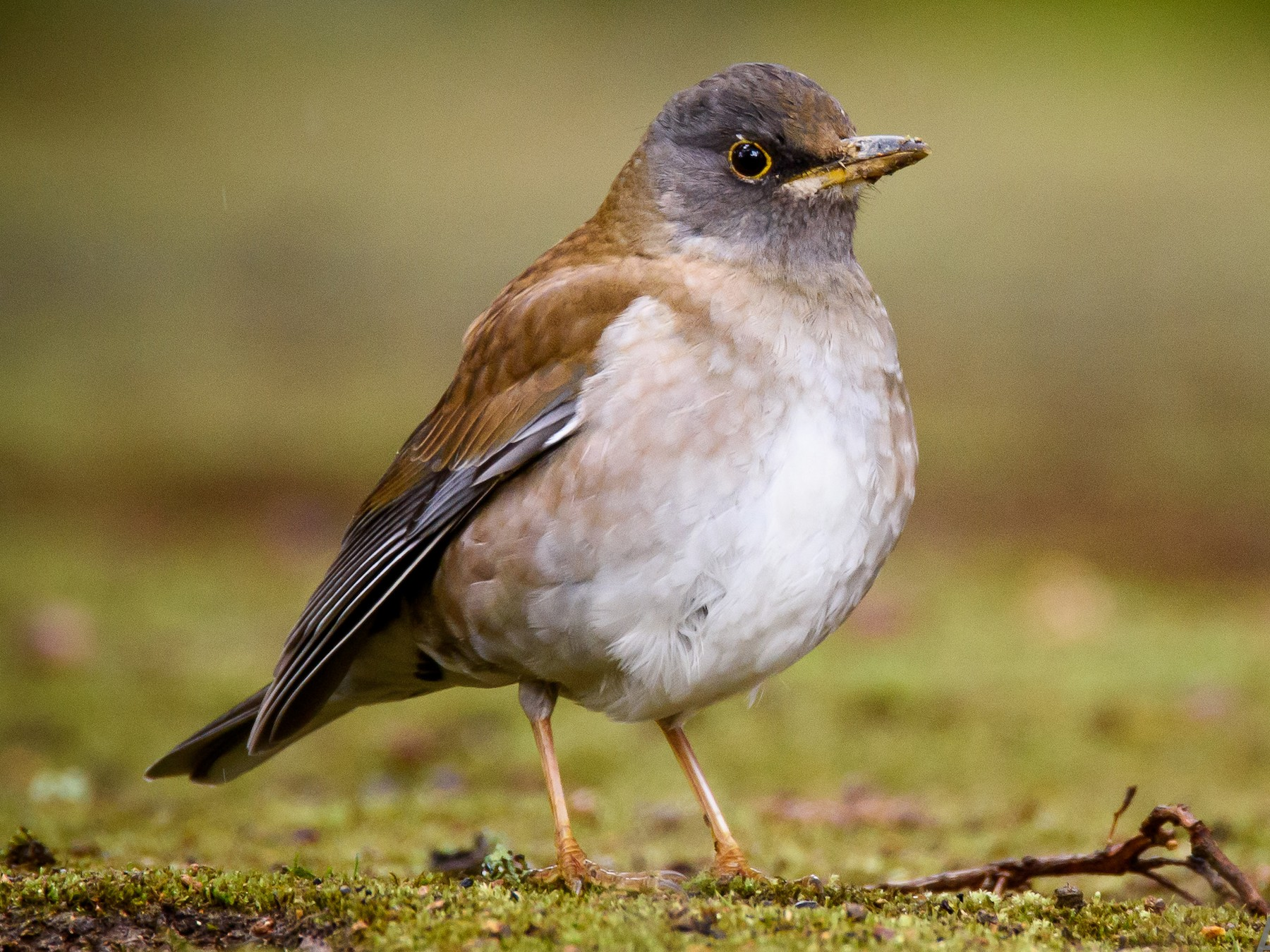 Pale Thrush - Adam Higgins