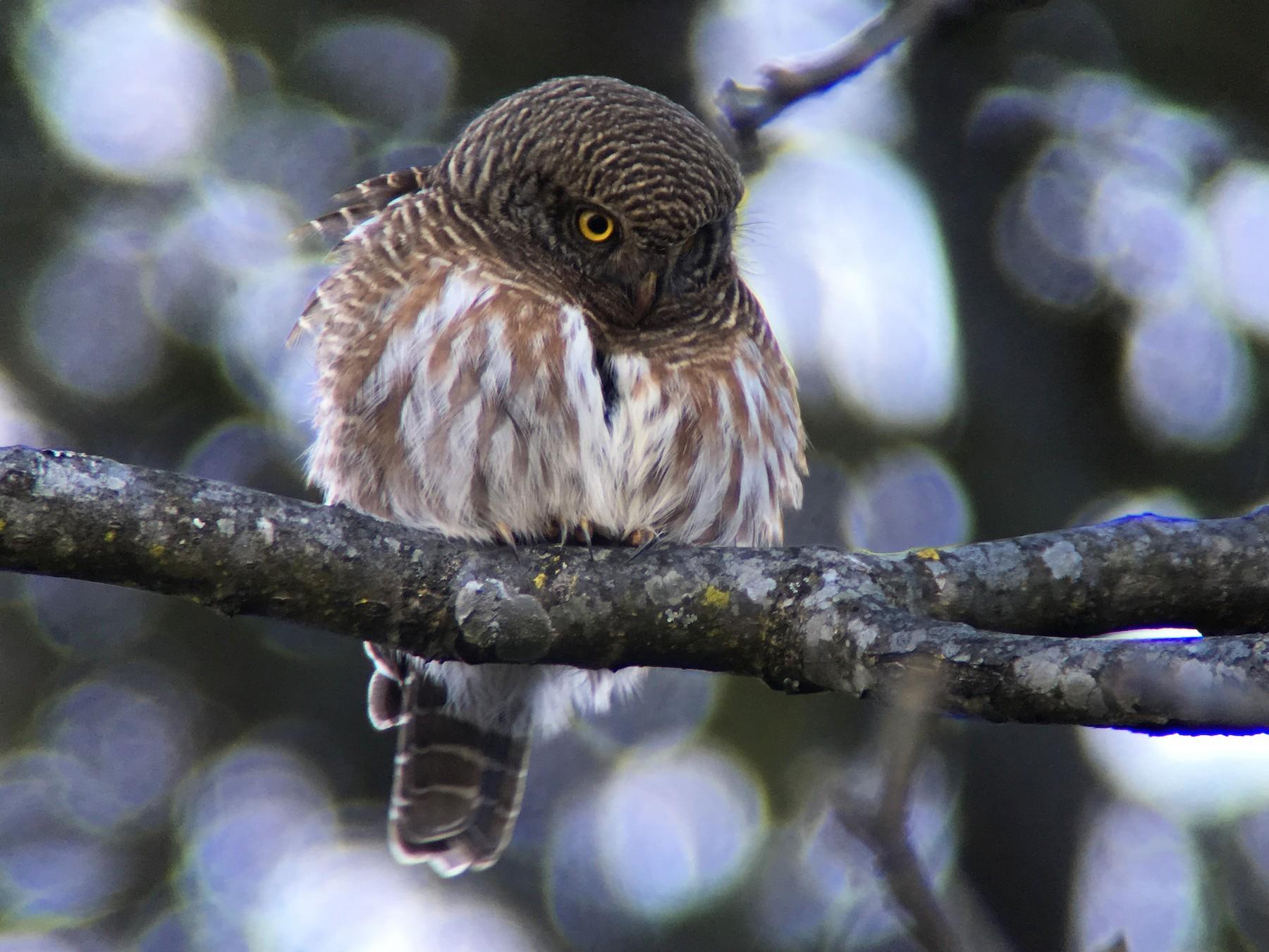Asian Barred Owlet - Vincent Wang