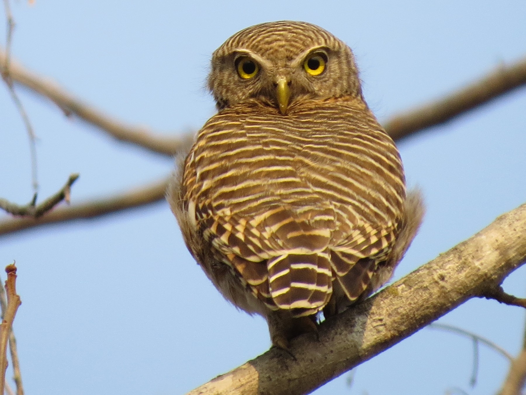 Asian Barred Owlet - Tom Wheatley