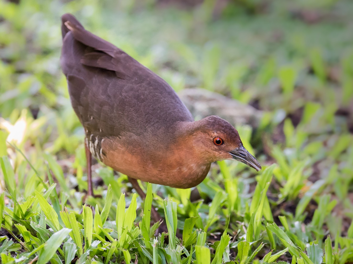 Band-bellied Crake - Leslie Loh