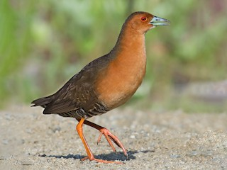 - Band-bellied Crake
