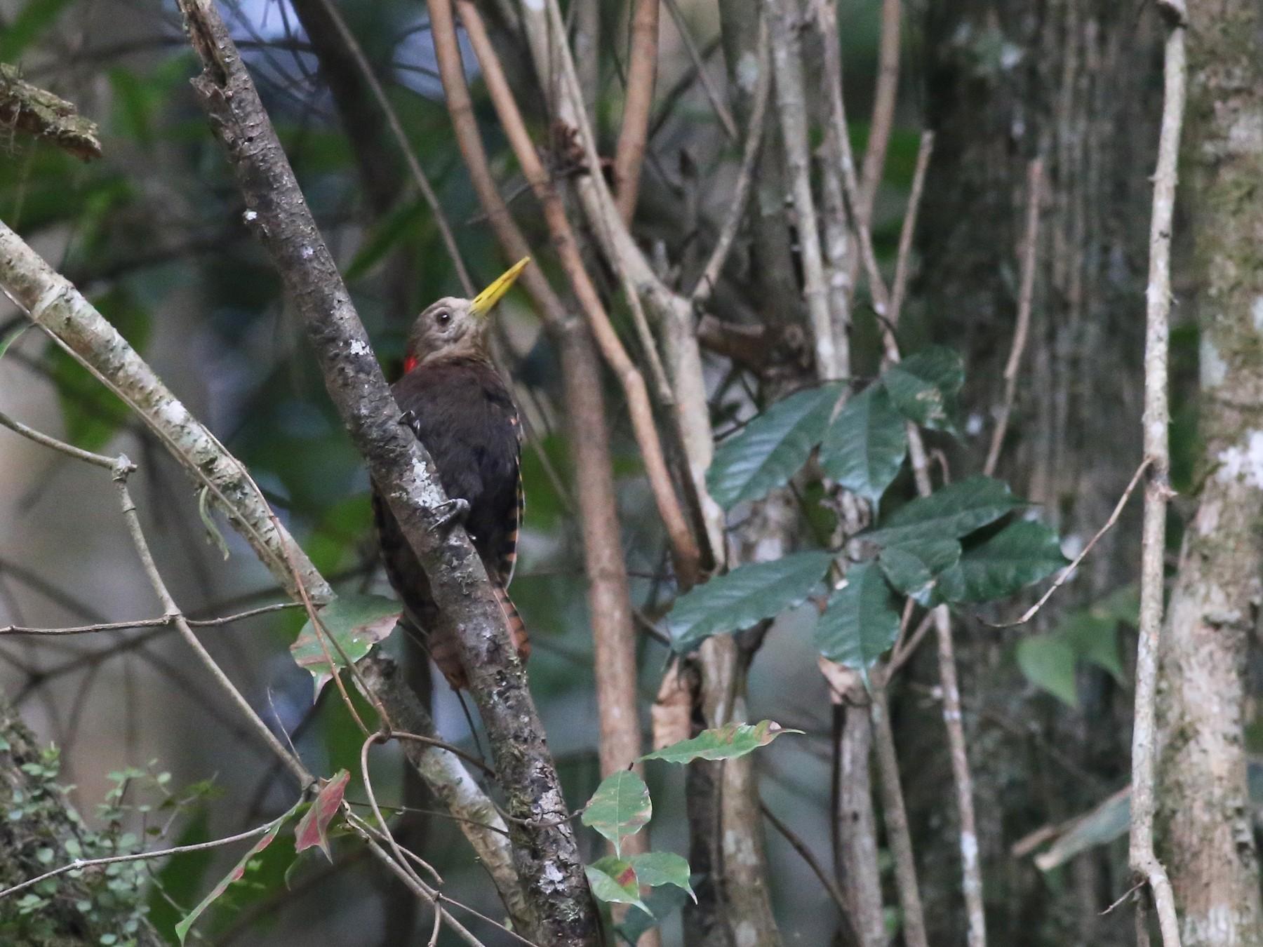 Bay Woodpecker - Peter Hosner