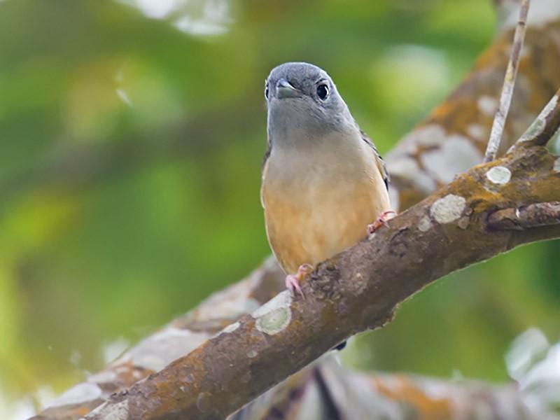 Blyth's Shrike-Babbler - Craig Brelsford