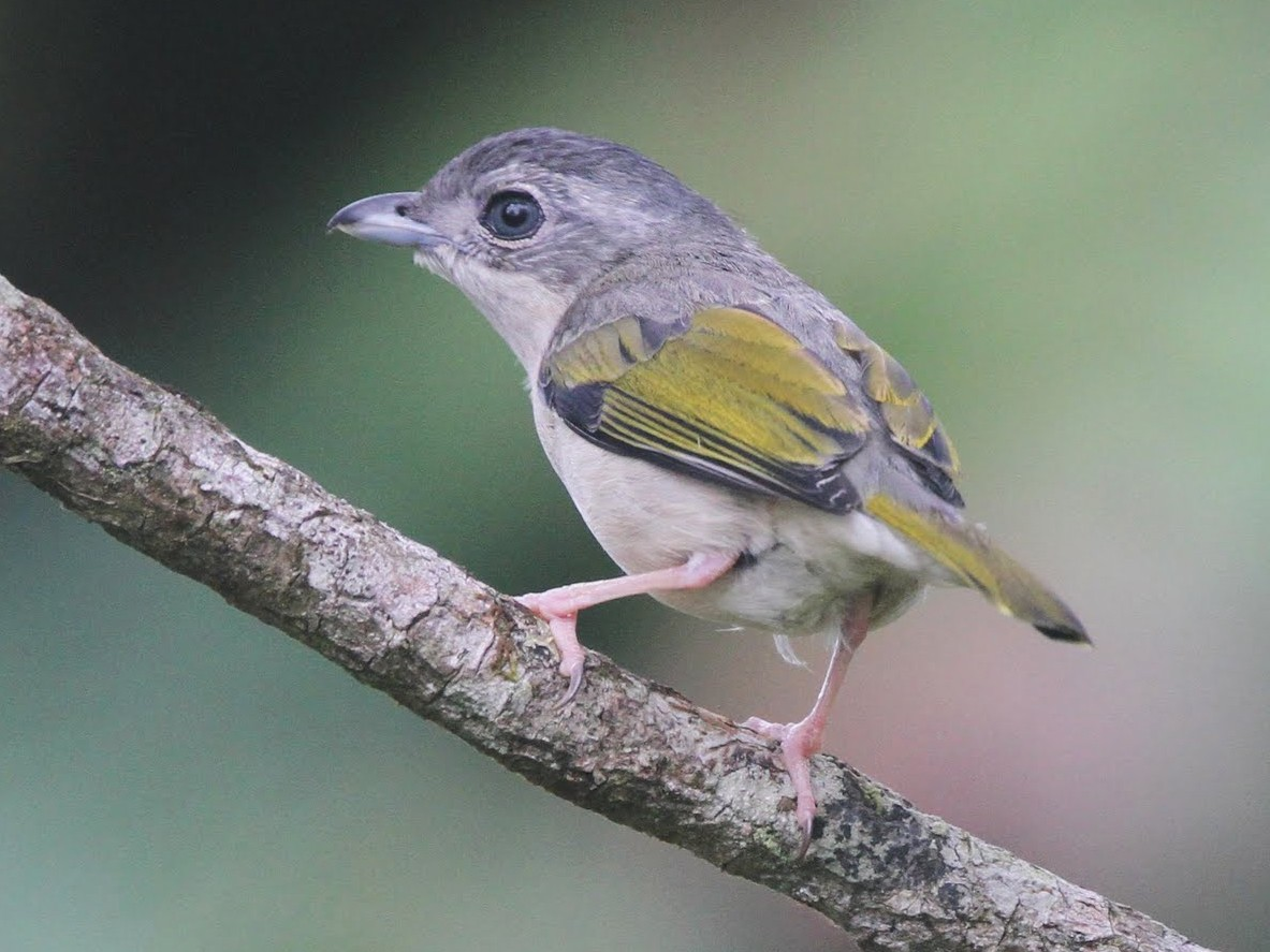Blyth's Shrike-Babbler - Brendan Klick