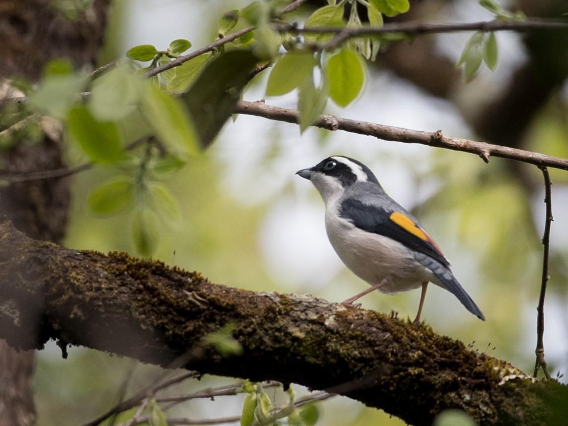 Blyth's Shrike-Babbler - Ian Davies