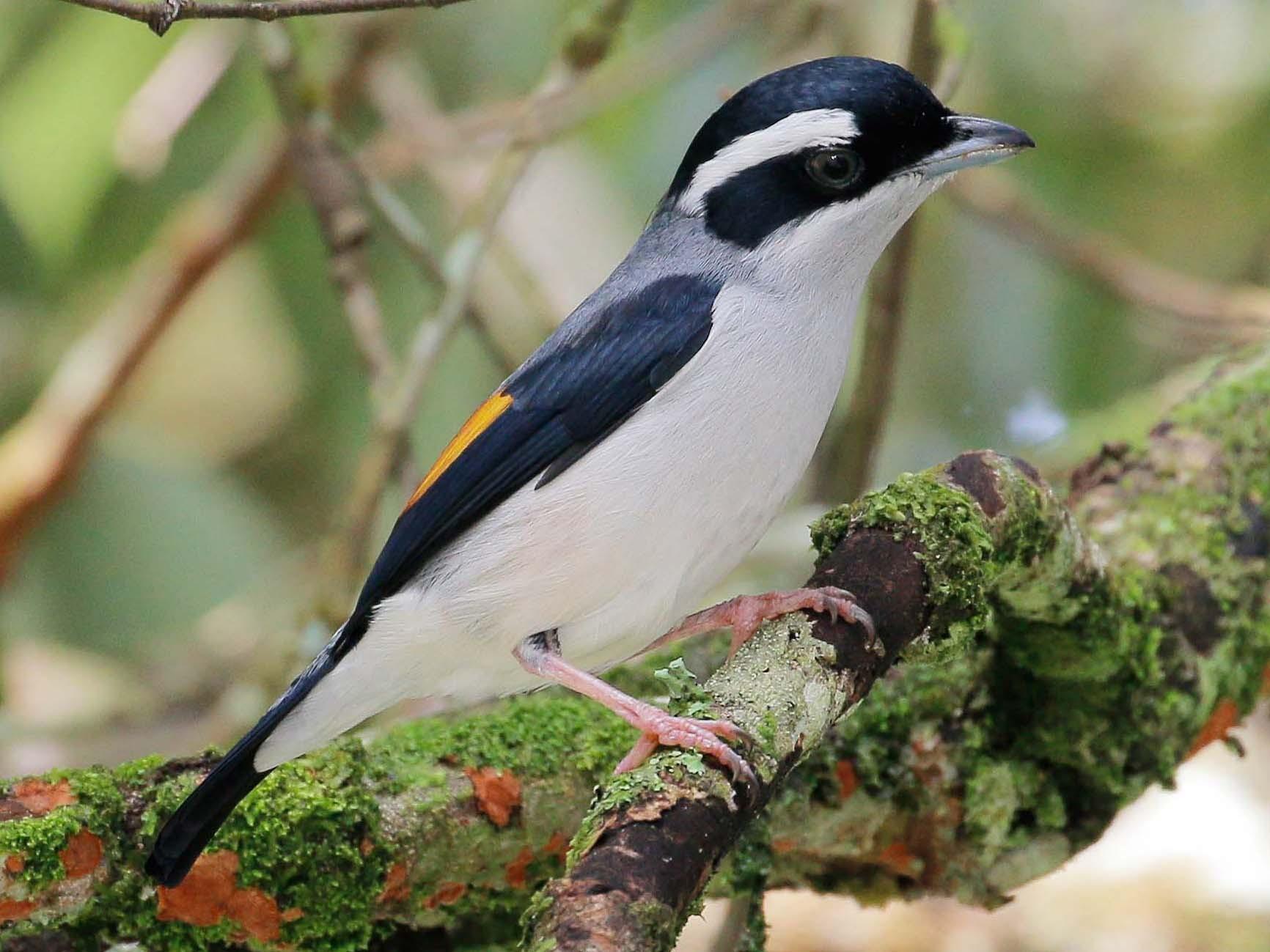 Blyth's Shrike-Babbler - Neoh Hor Kee