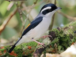 - Blyth's Shrike-Babbler