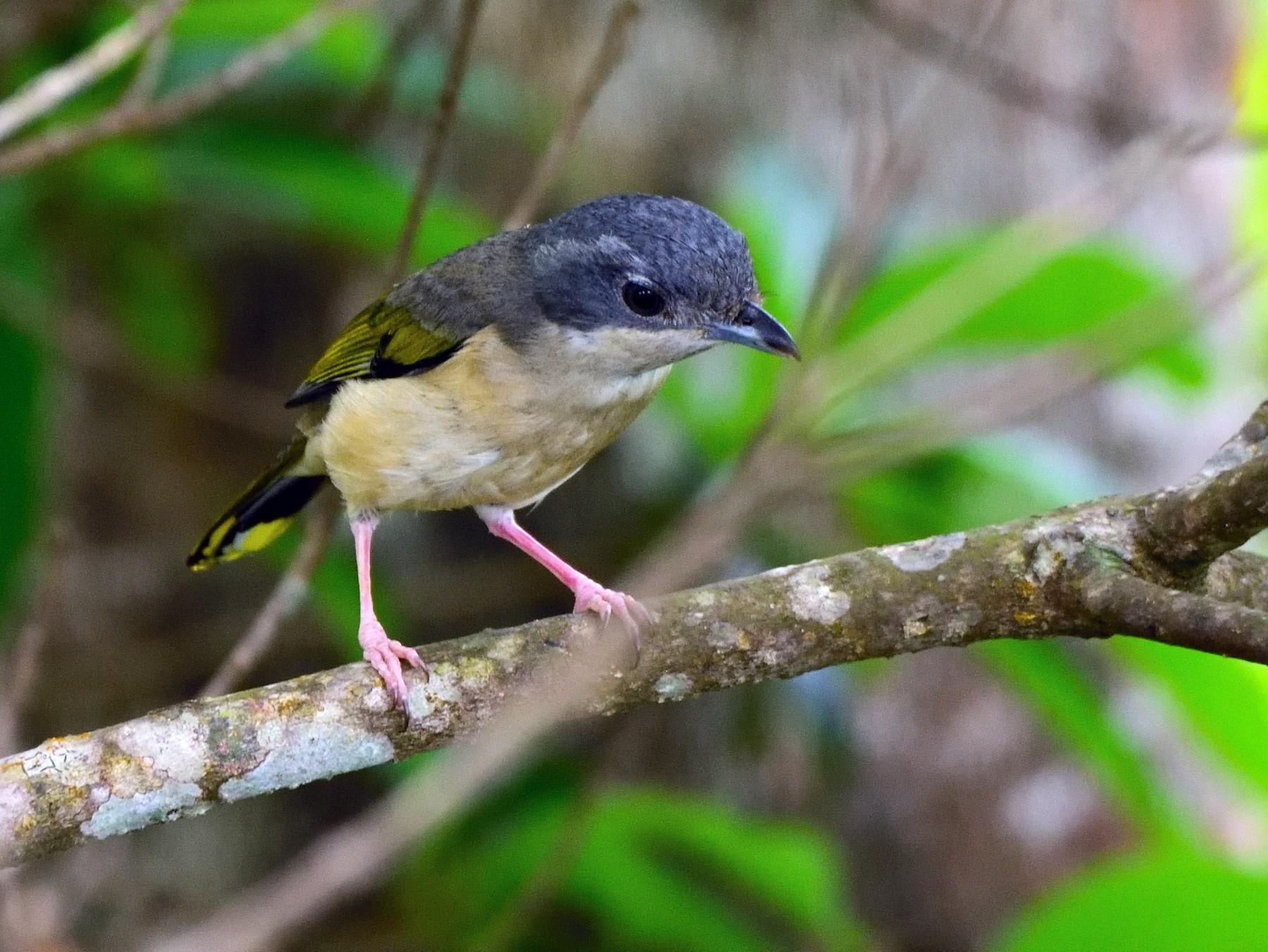 Blyth's Shrike-Babbler - Anonymous eBirder