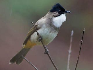 - Brown-breasted Bulbul