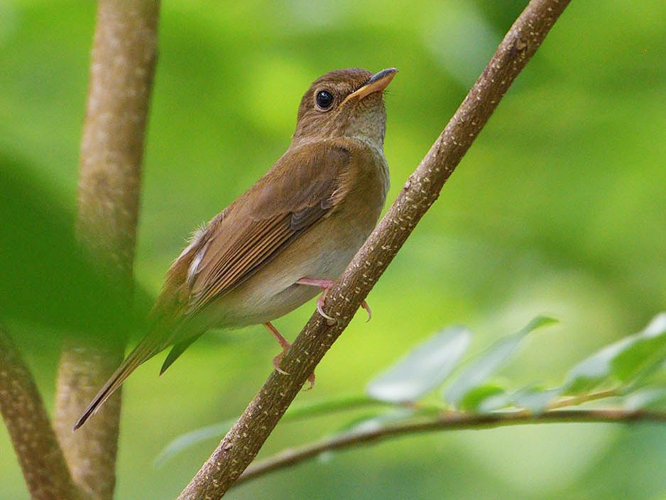 Brown-chested Jungle-Flycatcher - Khemthong Tonsakulrungruang