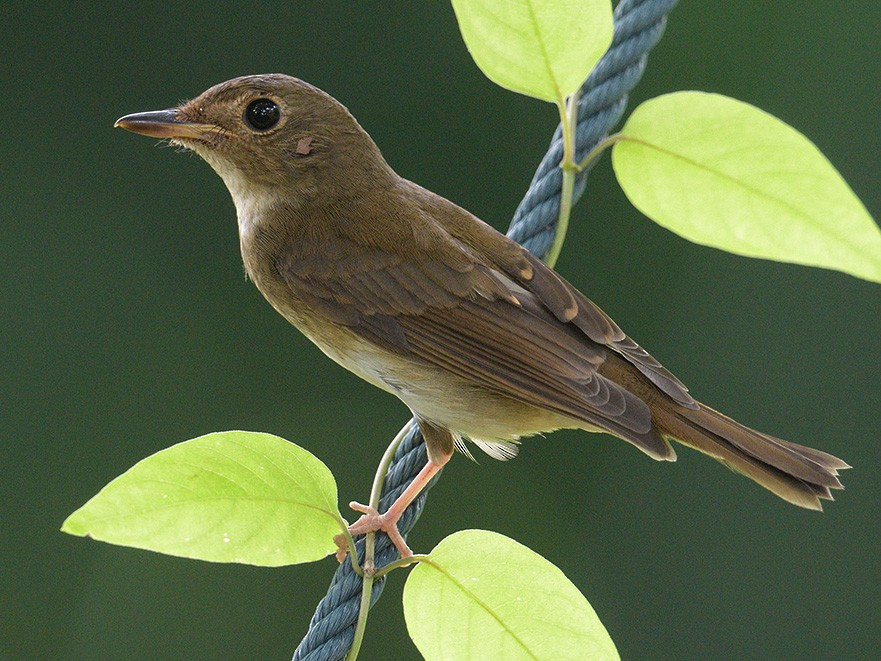 Brown-chested Jungle-Flycatcher - Con Foley