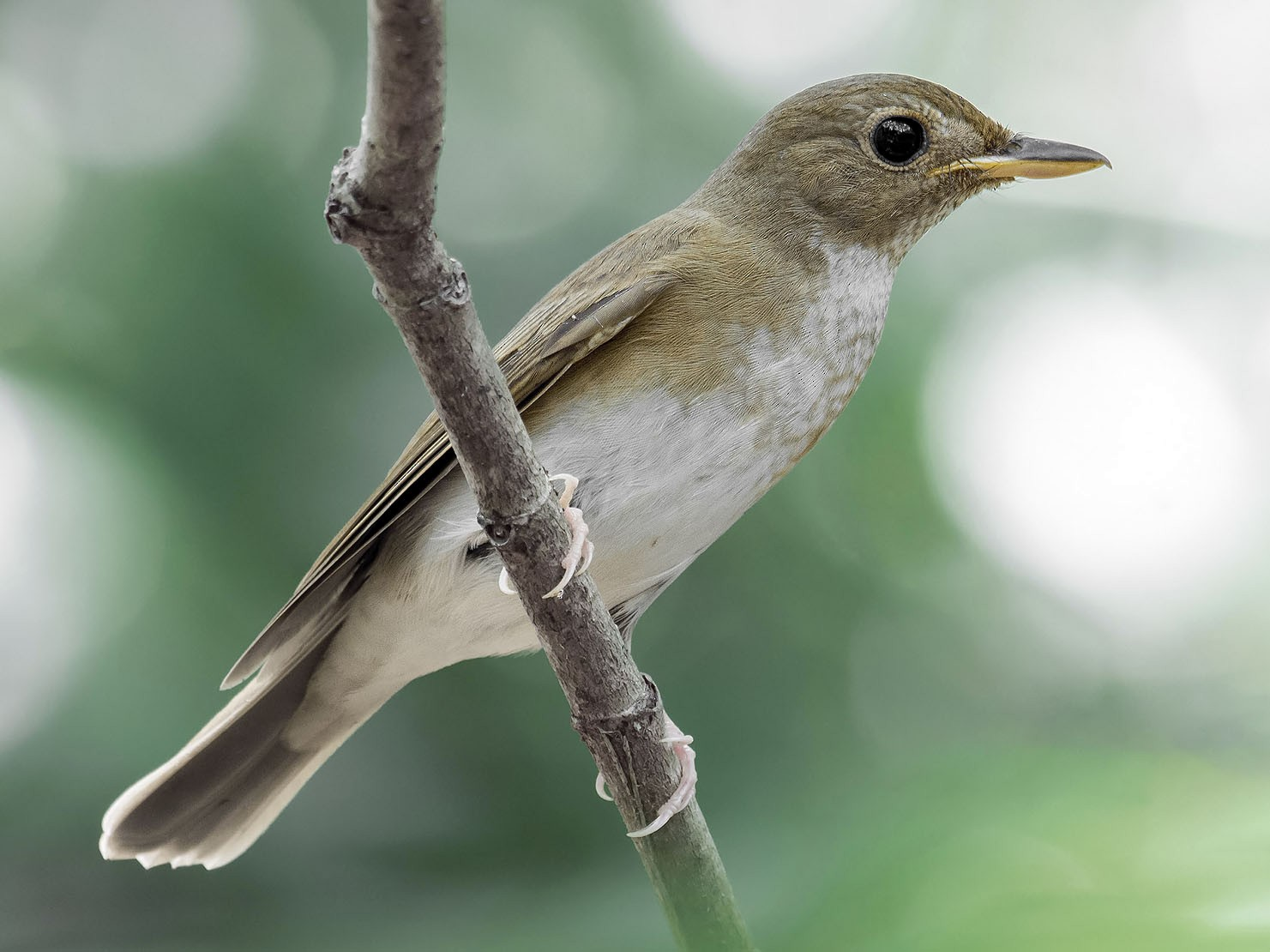 Brown-chested Jungle-Flycatcher - Natthaphat Chotjuckdikul