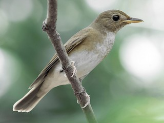 - Brown-chested Jungle-Flycatcher