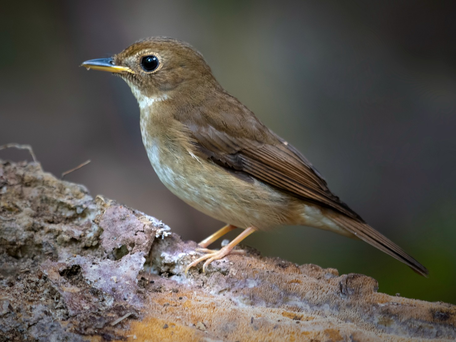 Brown-chested Jungle-Flycatcher - Wai Loon Wong