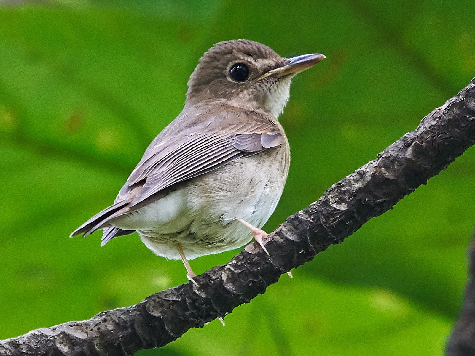 Brown-chested Jungle-Flycatcher - Steven Cheong