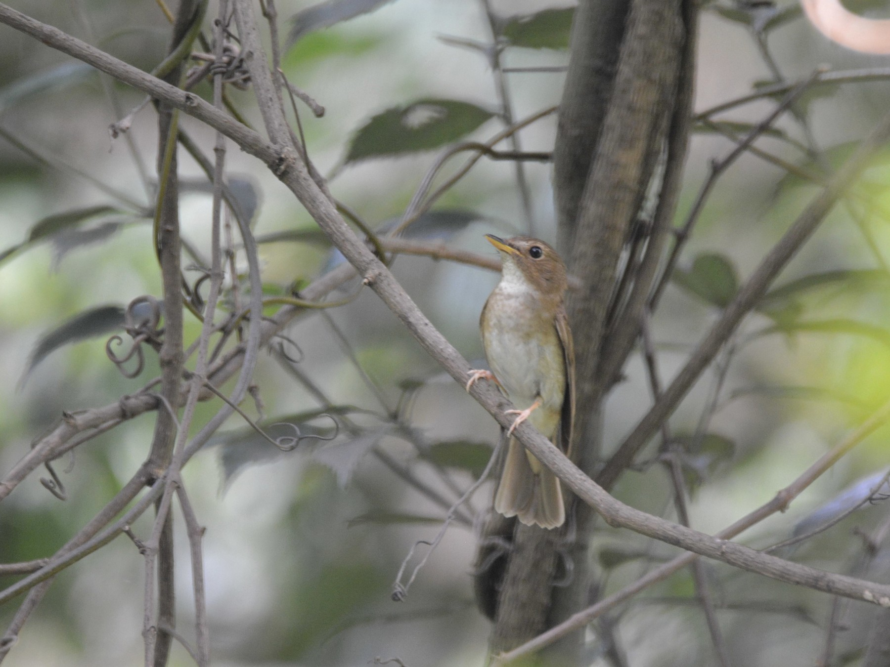 Brown-chested Jungle-Flycatcher - Cheng Qian