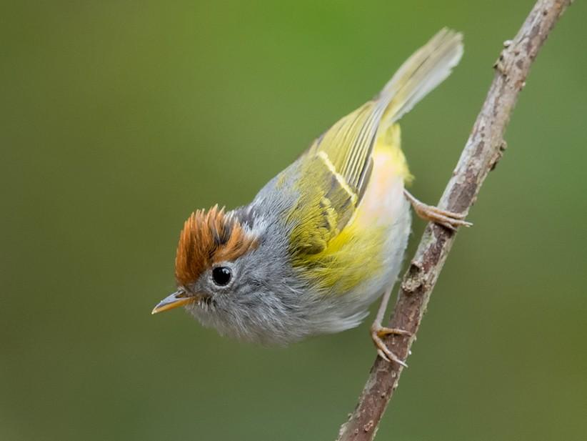 Chestnut-crowned Warbler - Sharma BC