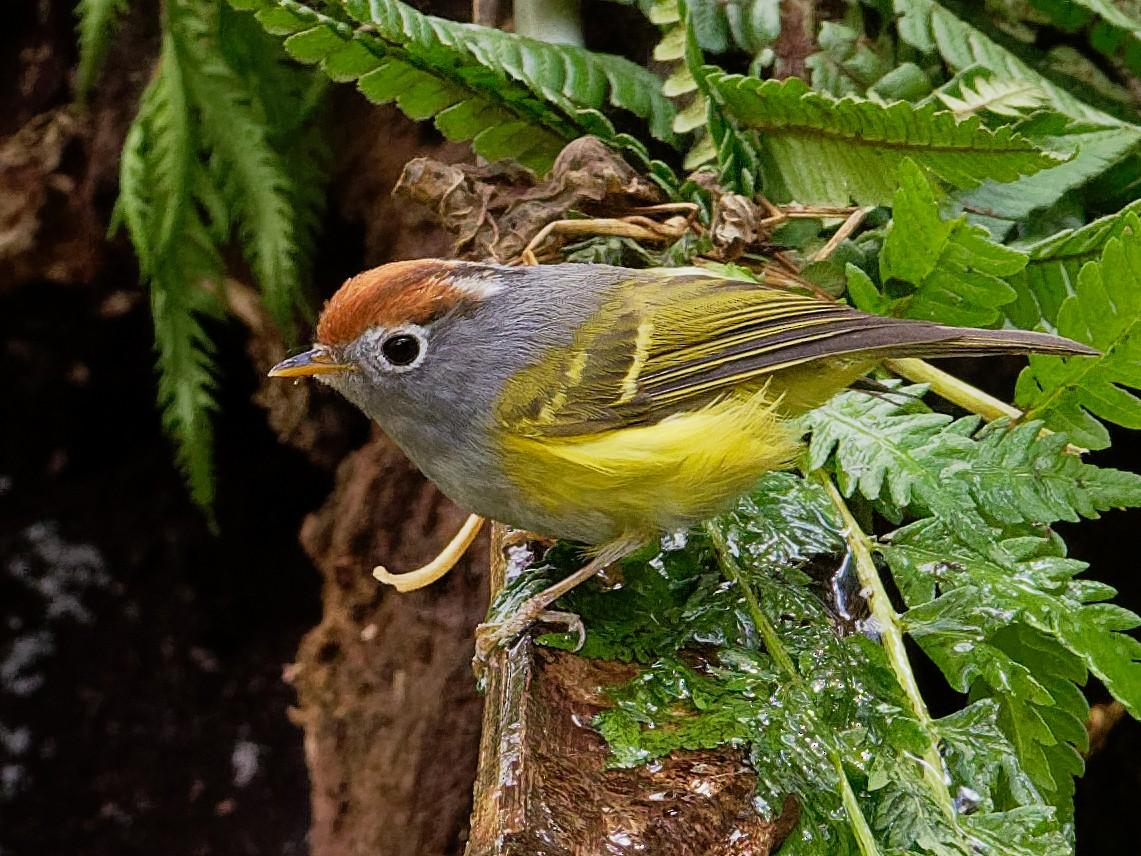Chestnut-crowned Warbler - Vincent Wang