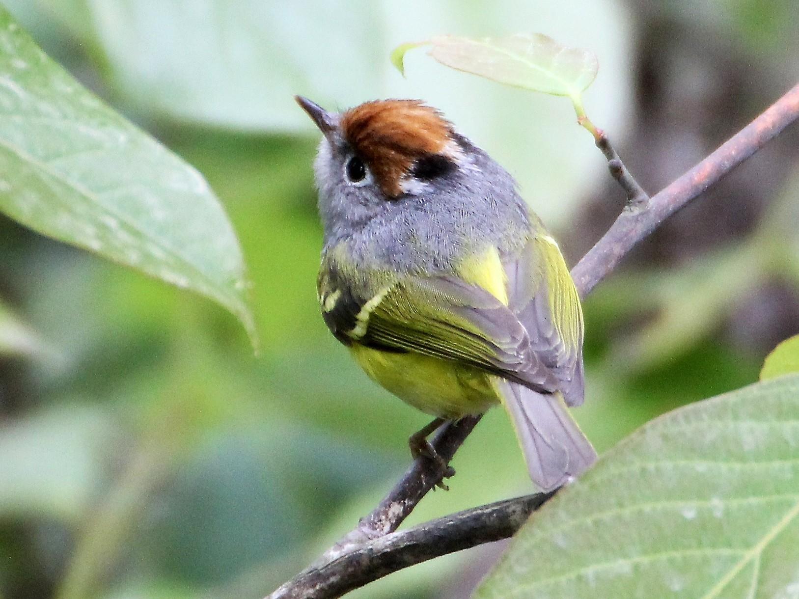 Chestnut-crowned Warbler - Thomas Job