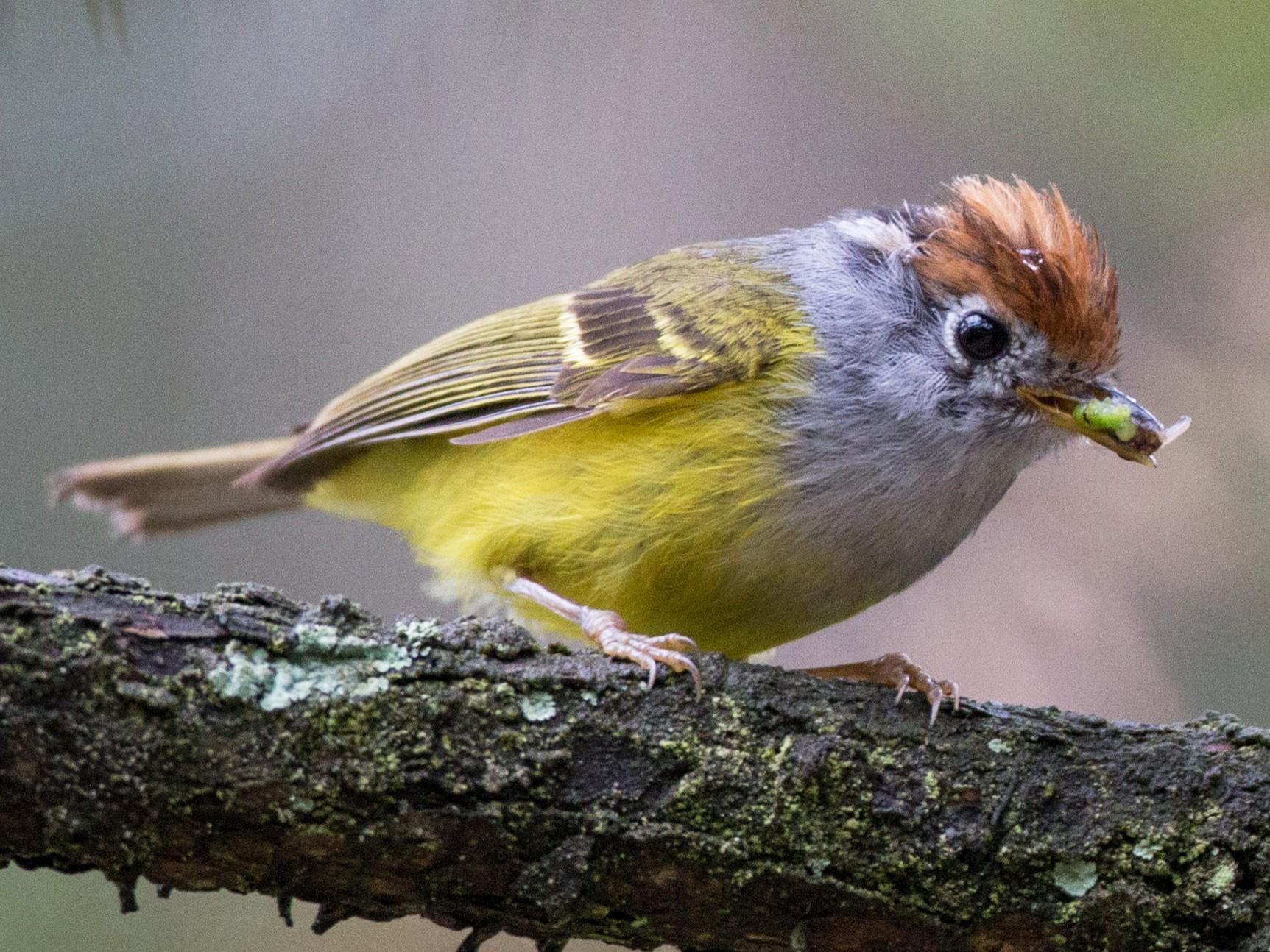 Chestnut-crowned Warbler - Ian Davies