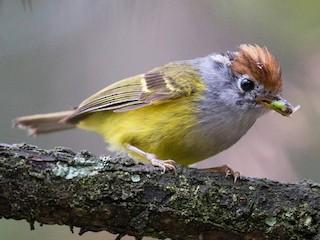 - Chestnut-crowned Warbler