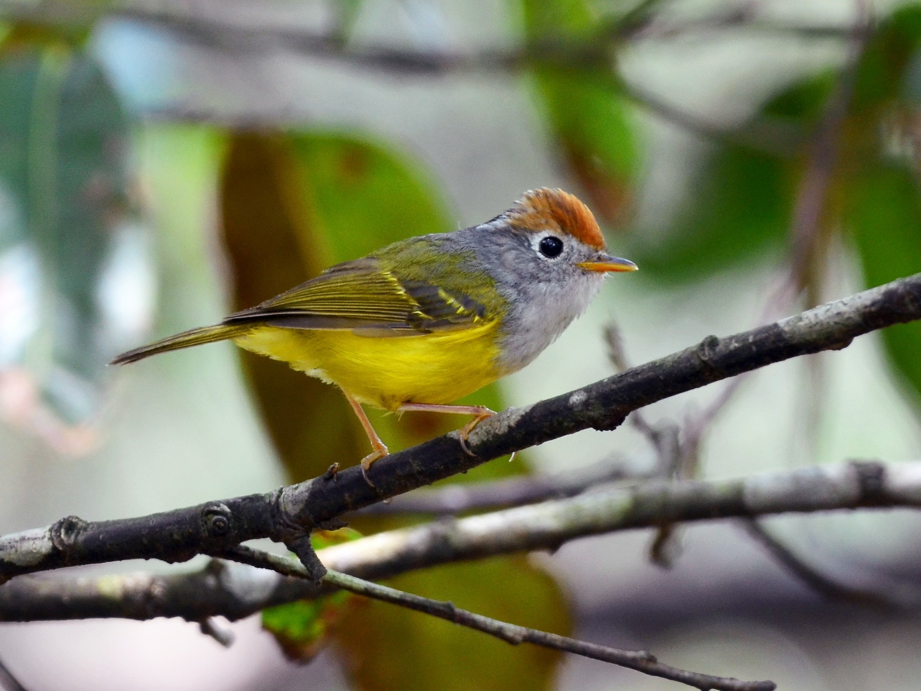 Chestnut-crowned Warbler - Chun-Chieh Liao