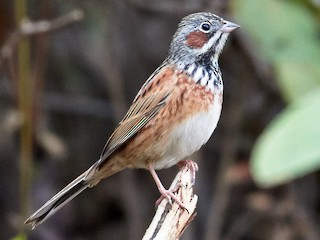 - Chestnut-eared Bunting