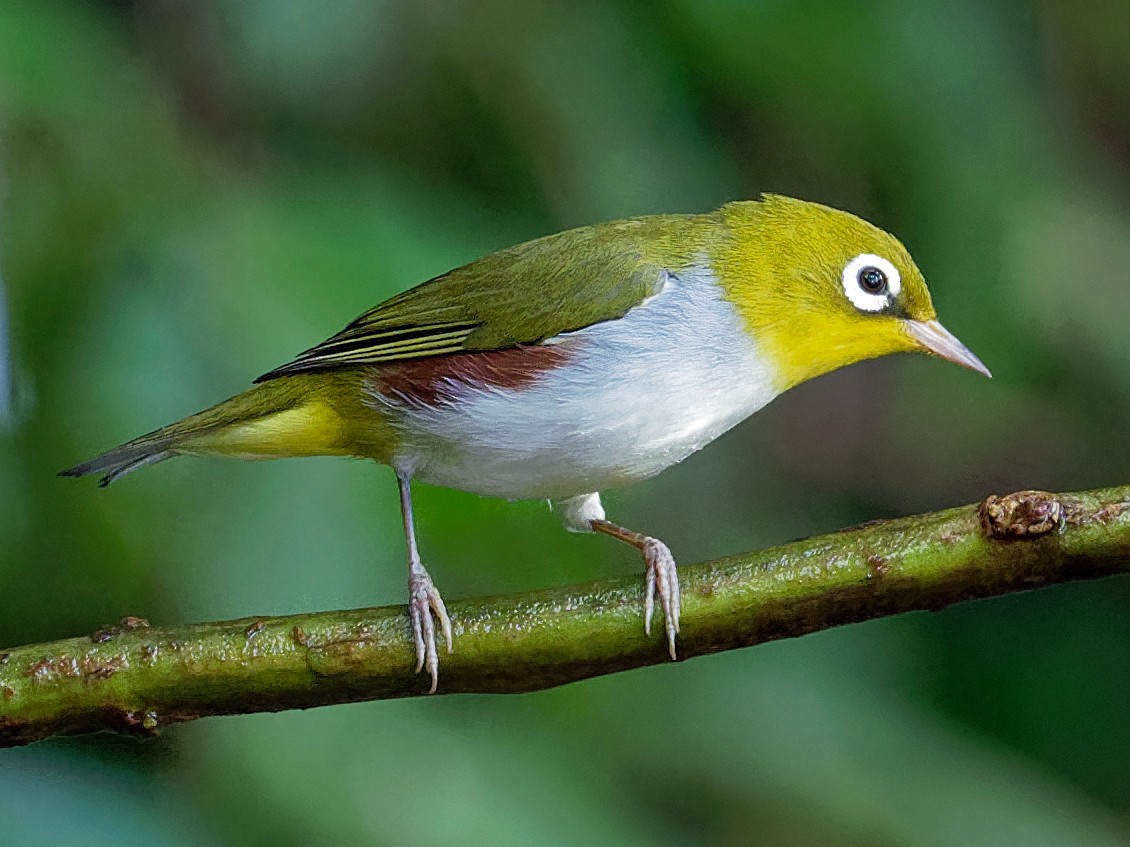Chestnut-flanked White-eye - Vincent Wang