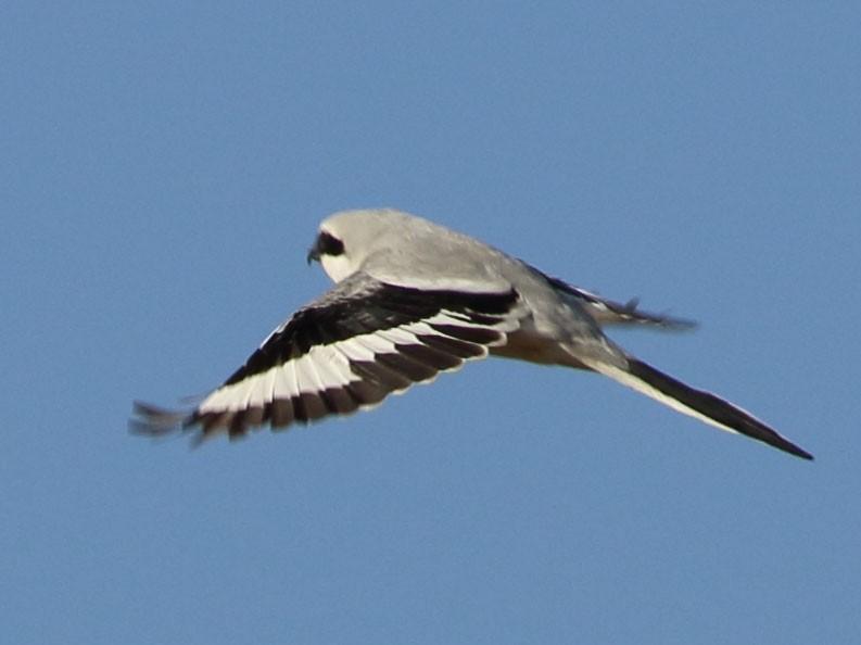 Chinese Gray Shrike - Richard Fuller
