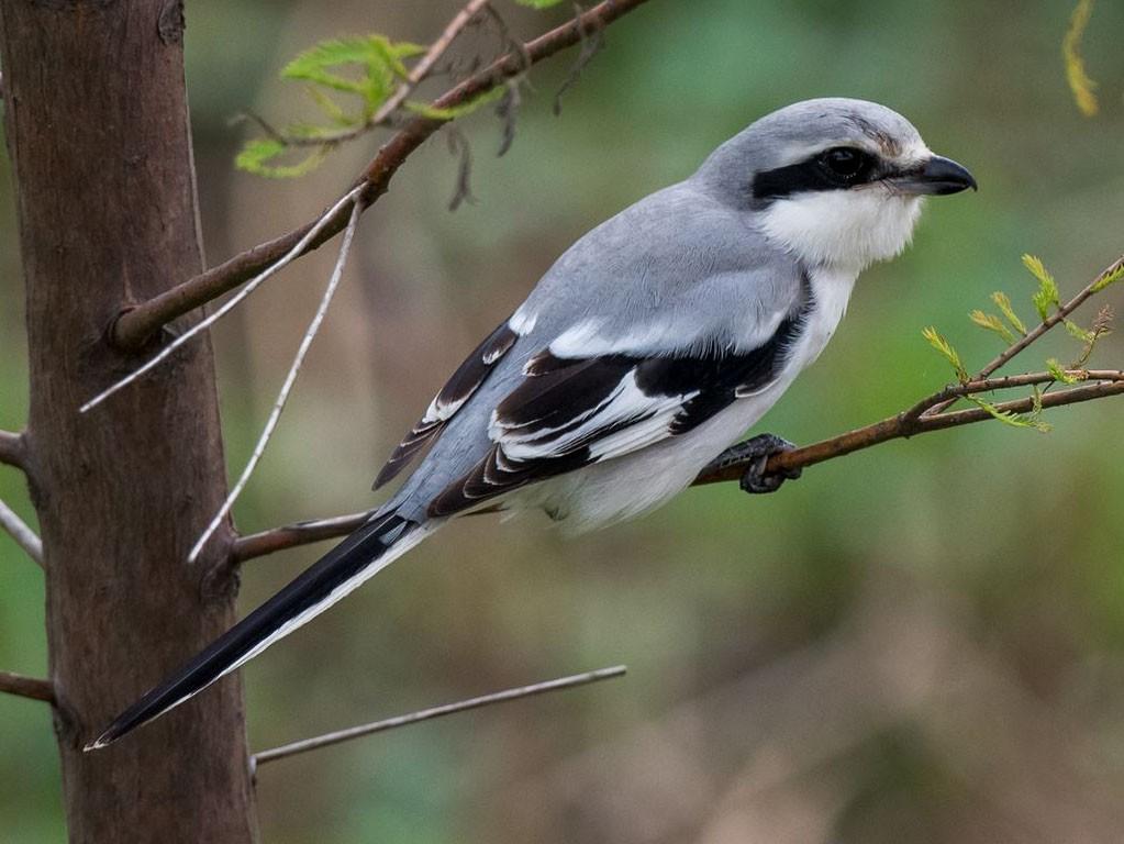 Chinese Gray Shrike - Kai Pflug