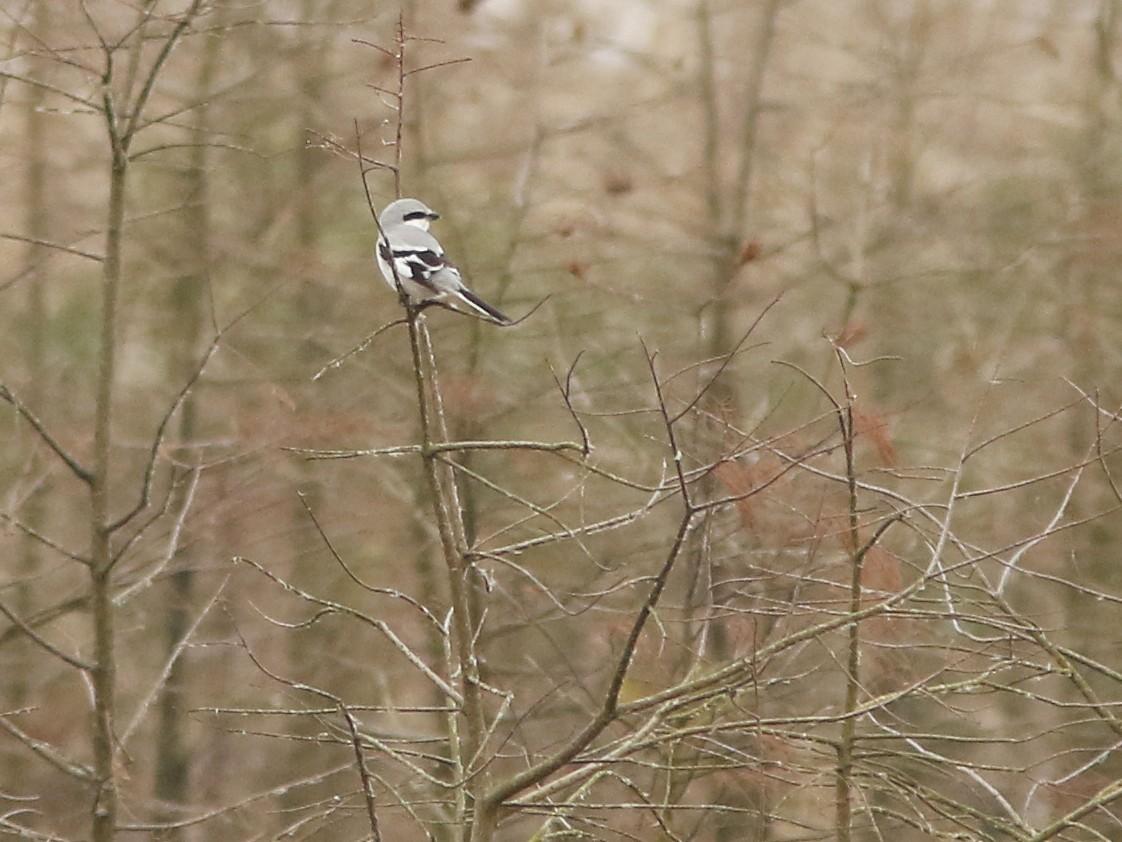 Chinese Gray Shrike - David Beadle