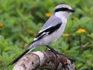 - Chinese Gray Shrike