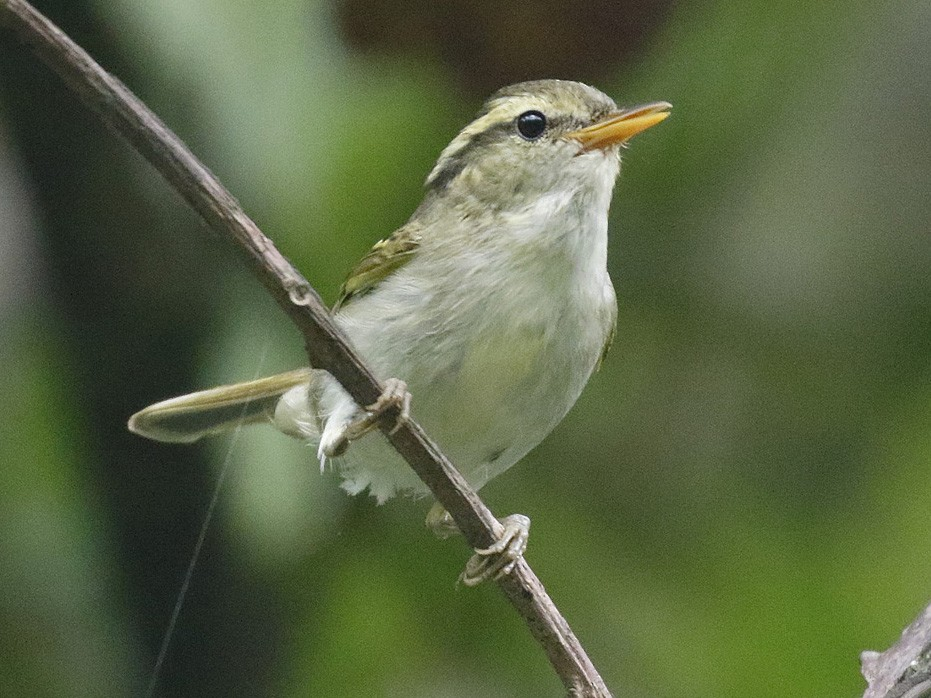 Claudia's Leaf Warbler - Dave Curtis