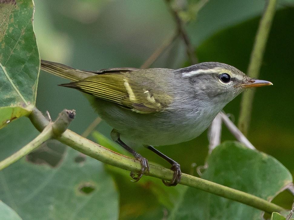 Claudia's Leaf Warbler - Kasia & Takashi Someya