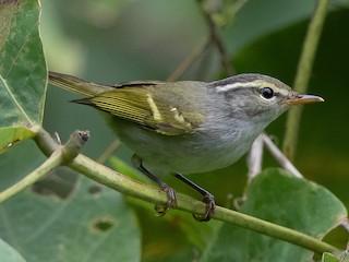 - Claudia's Leaf Warbler