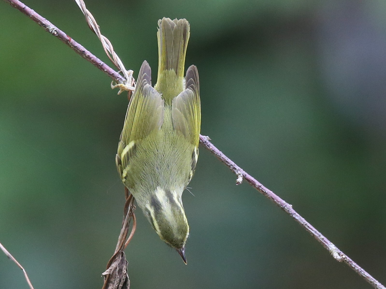Claudia's Leaf Warbler - Ting-Wei (廷維) HUNG (洪)