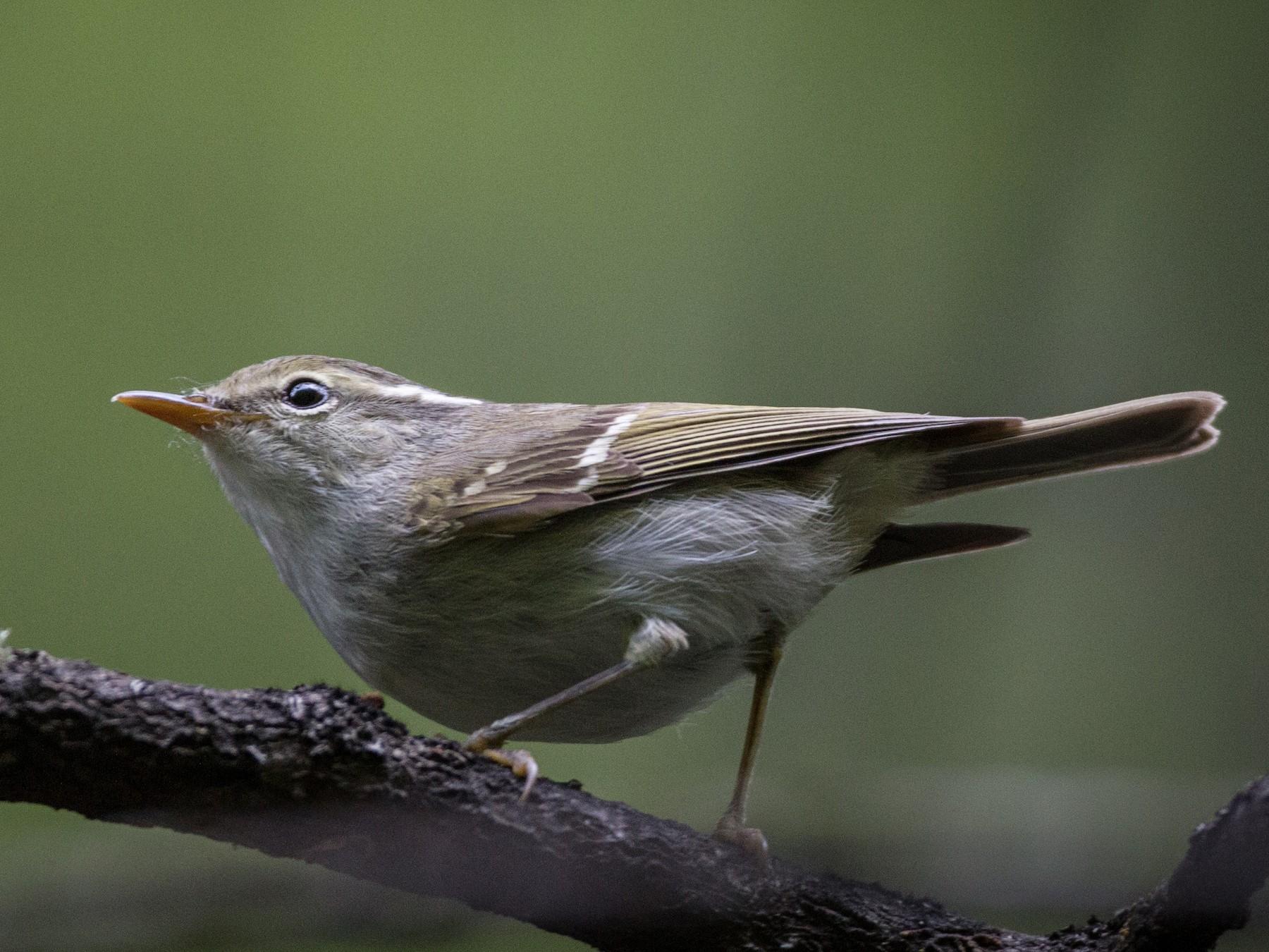 Claudia's Leaf Warbler - Ian Davies