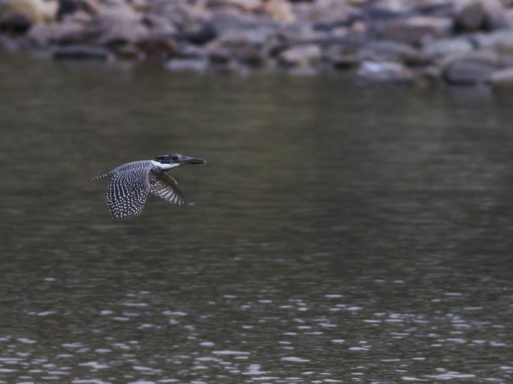 Crested Kingfisher - Rajdeep Mitra