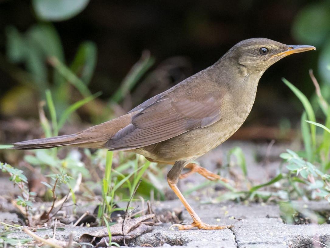 Gray's Grasshopper-Warbler - Kai Pflug