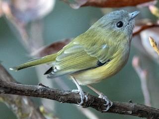 - Green Shrike-Babbler