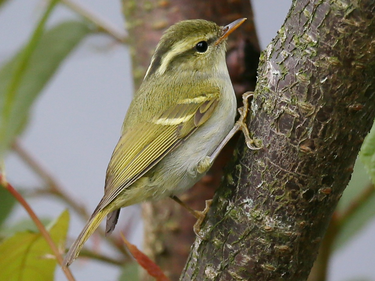 Hartert's Leaf Warbler - Ting-Wei (廷維) HUNG (洪)