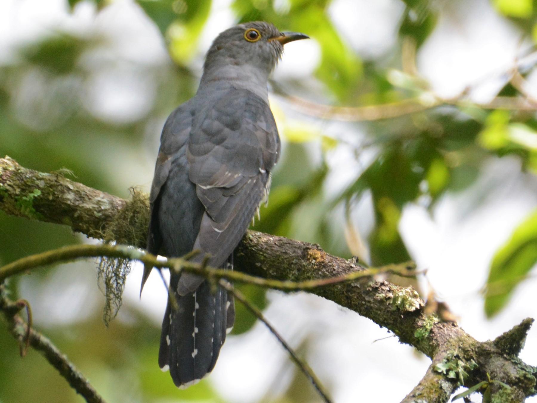 Himalayan Cuckoo - Ari Noviyono