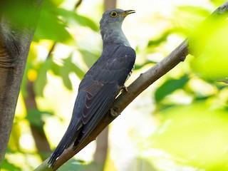 - Himalayan Cuckoo